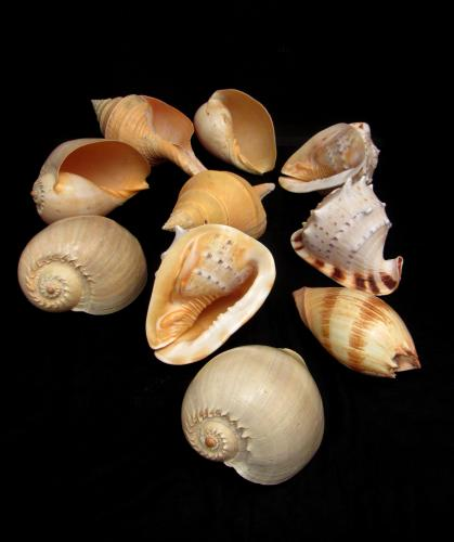 A collection of large antique shells