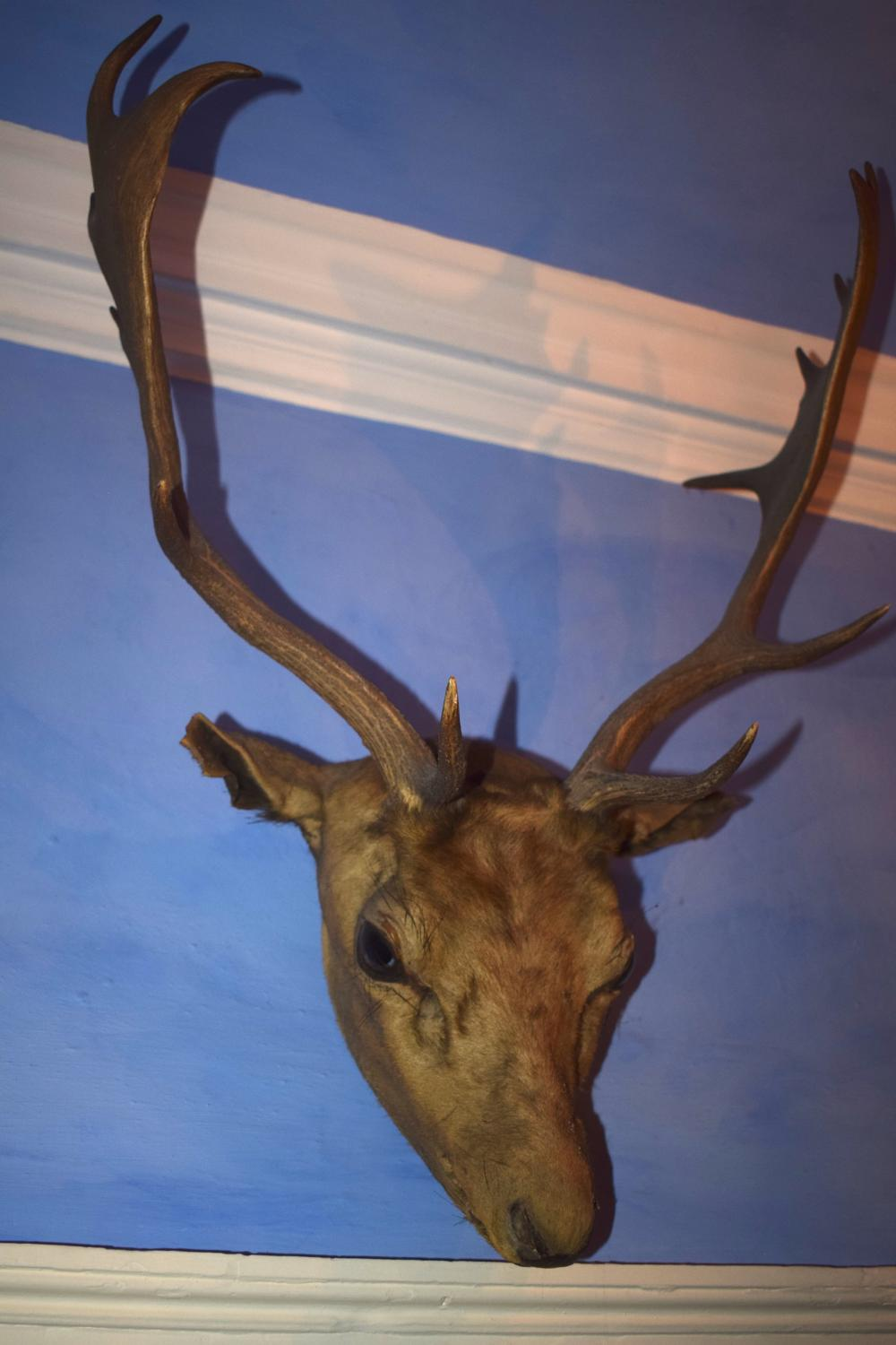 A Taxidermy red deer head
