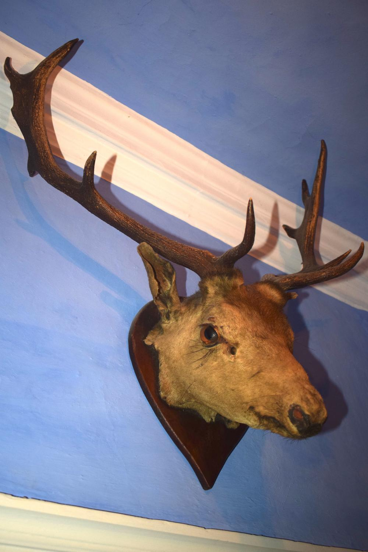 A Taxidermy red deer head