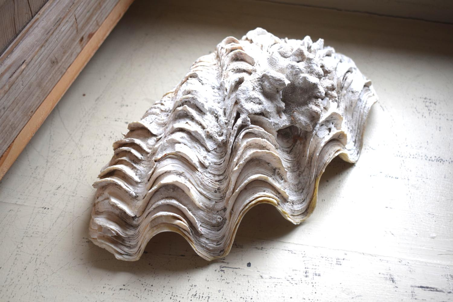 A clamshell with calcification